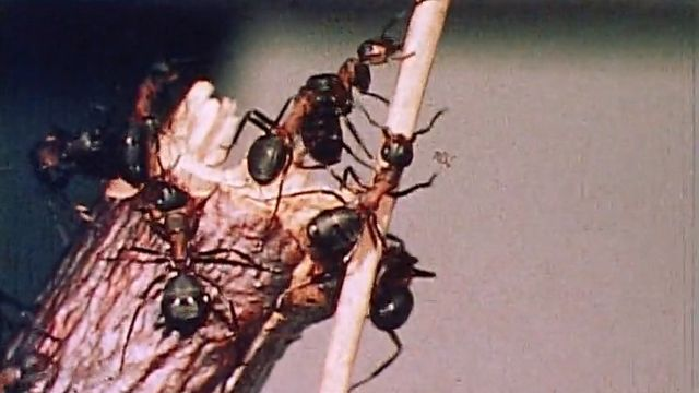 Une immense colonie de fourmis. [RTS]