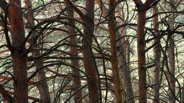 Des troncs de pins Sylvestre photographiés dans le Bois de Finges. Andree-Noelle Pot Keystone [Andree-Noelle Pot - Keystone]