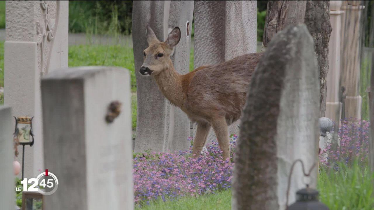 À Bâle, une vingtaine de chevreuils se sont installés dans un cimetière où ils provoquent de grands dégâts [RTS]
