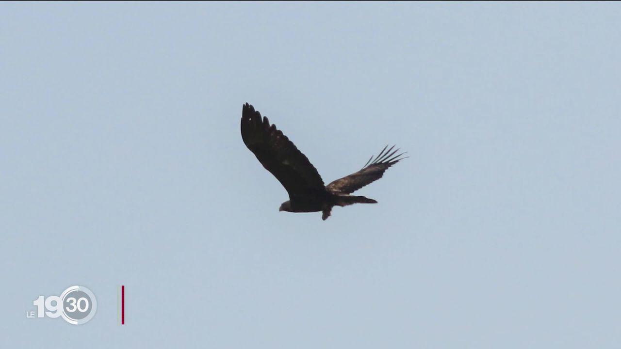 Dans le Jura, l'aigle royal refait peu à peu son nid [RTS]