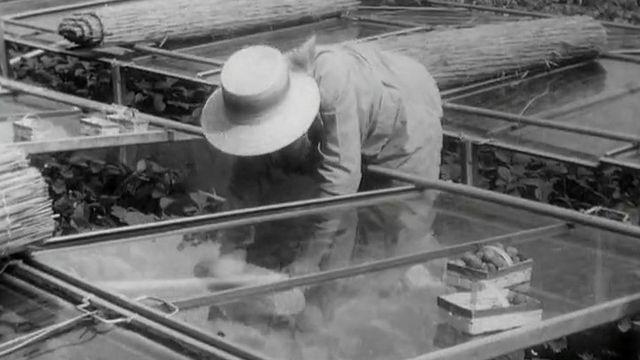 La cueillette des fraises en 1962 [RTS]