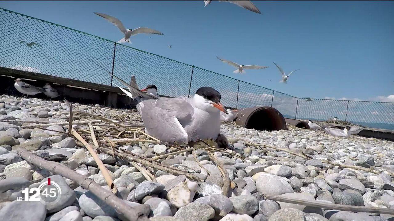 L'île aux oiseaux, un refuge unique à Préverenges. [RTS]