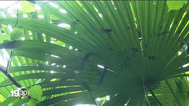 Quand le palmier devient invasif au Tessin, le canton limite sa propagation [RTS]