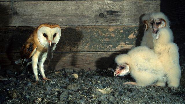 Chez la dame blanche, l'ainé d'une fratrie d'oisillons partage volontiers sa nourriture avec son petit frère ou sa petite sœur.  imagebrokermicrostock Depositphotos [imagebrokermicrostock - Depositphotos]