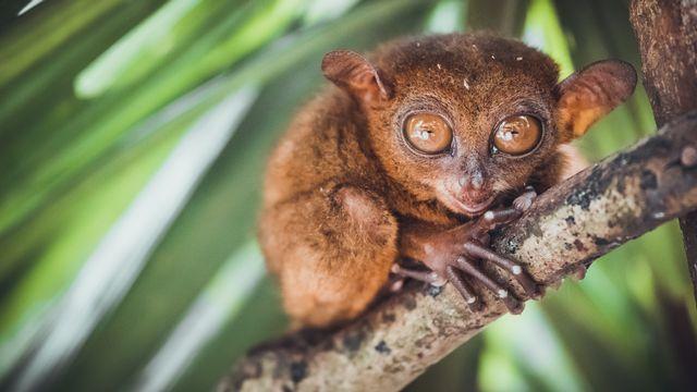 Le tarsier est un petit primate aux grands yeux. goinyk Depositphotos [goinyk - Depositphotos]