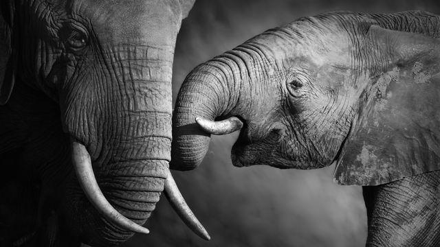 La trompe, un organe notamment du toucher chez l'éléphant. JohanSwanepoel Depositphotos [JohanSwanepoel - Depositphotos]