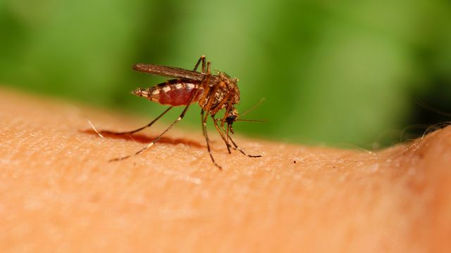 Les moustiques transmettent de nombreuses maladies. [dabjola - Depositphotos]