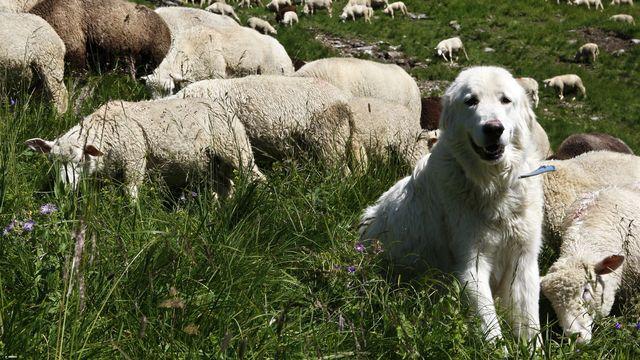 Un chien Maremmana des Abruzzes protège un troupeau de moutons contre le loup, en montagne. (image d'illustration) [Jean-Christophe Bott - Keystone]