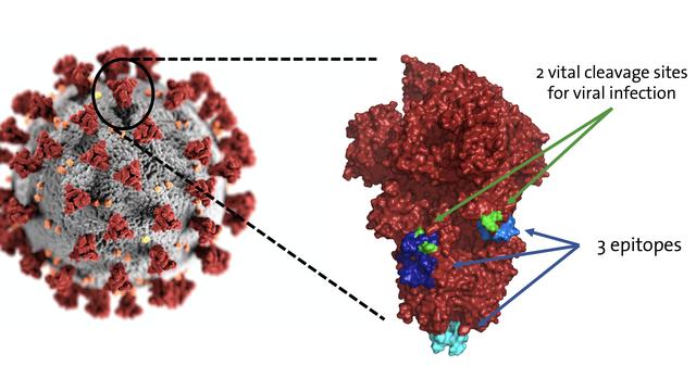 """Localisation des trois sites ciblés le plus fréquemment par les anticorps humains sur les clous (ou """"spikes"""") du coronavirus responsable du COVID-19. UNIGE [UNIGE]"""