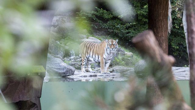 Le tigre mâle du zoo de Zurich Sayan, photographié après l'accident de samedi. C'est la femelle, Irina, qui serait à l'origine de l'attaque. [Ennio Leanza - Keystone/EPA]