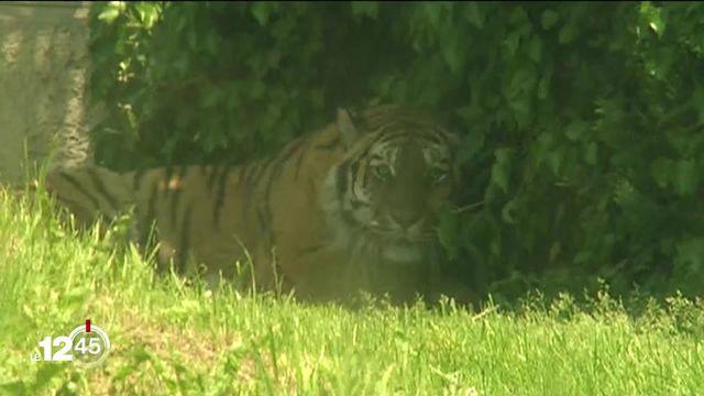 Une gardienne du zoo de Zurich mortellement blessée par un tigre. [RTS]