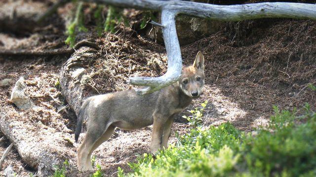 Une sixième meute de loups a été découverte dans les Grisons [Keystone]