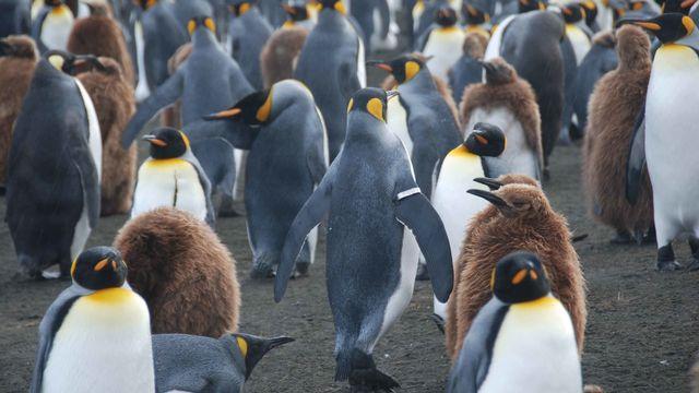 Onze nouvelles colonies de manchots empereurs ont été détectées en Antarctique. [Benoît Gineste - AP]
