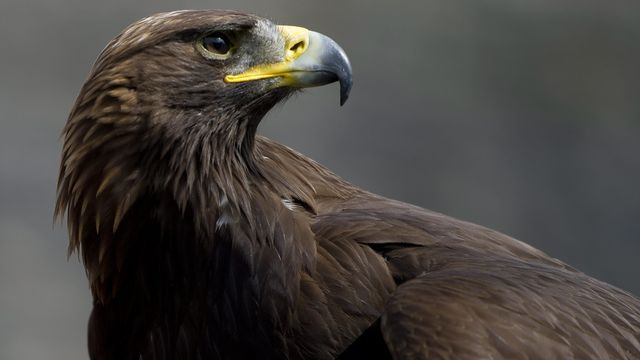 L'aigle royal est en train de reconquérir l'Arc jurassien (Image prétexte). [Jean-Christophe Bott - KEYSTONE]