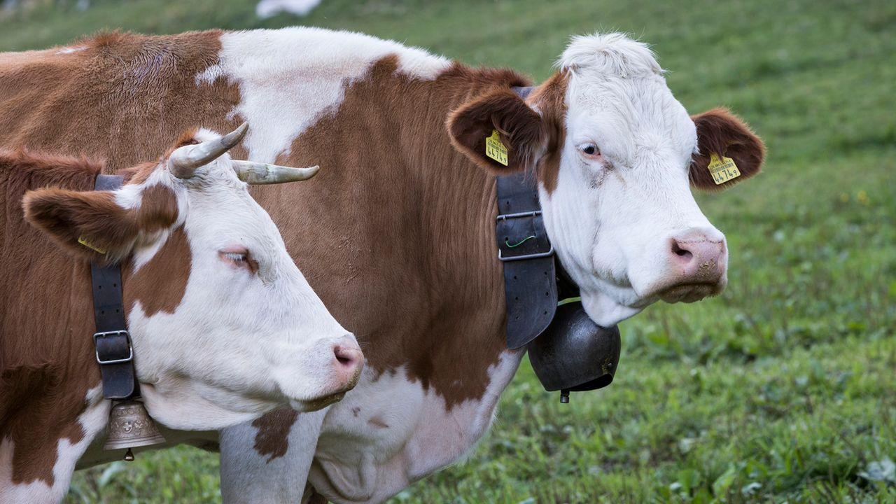 Selon le contre-projet du Conseil fédéral, tous les bovins détenus à l'attache devront soit être détenus en stabulation libre, soit pouvoir sortir à l'air libre chaque jour. [Dominic Steinmann - Keystone]