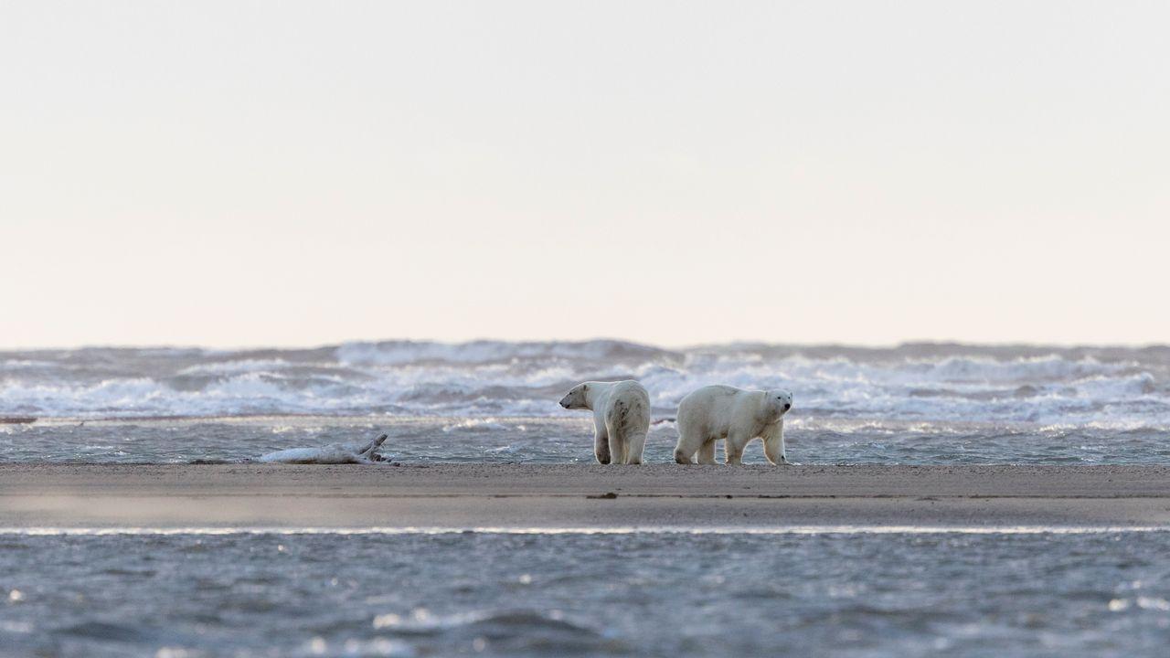 Des ours polaires dans le refuge national de la faune arctique, en Alaska.  [AFP - Sylvain Cordier]