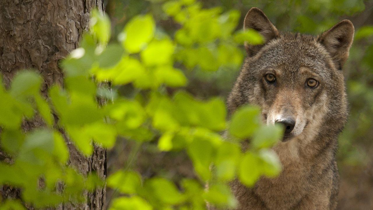 Le loup est de retour en Suisse depuis une vingtaine d'années. [Giancarlo Mancori - Keystone / WWF]