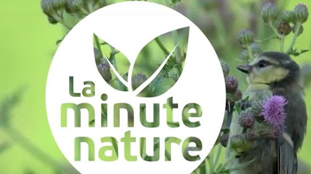 La minute nature, des vidéos sur la faune réalisées par La Salamandre. [La minute nature - salamandre.org]