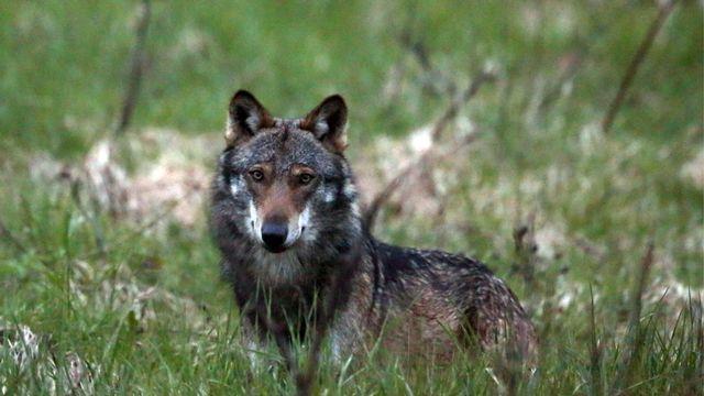 C'est surtout le sort réservé aux grands prédateurs, en l'occurrence le loup, qui cristallise les discussions autour de la révision de la loi sur la chasse, notamment en Valais et aux Grisons.  [Marco Schmidt - keystone]
