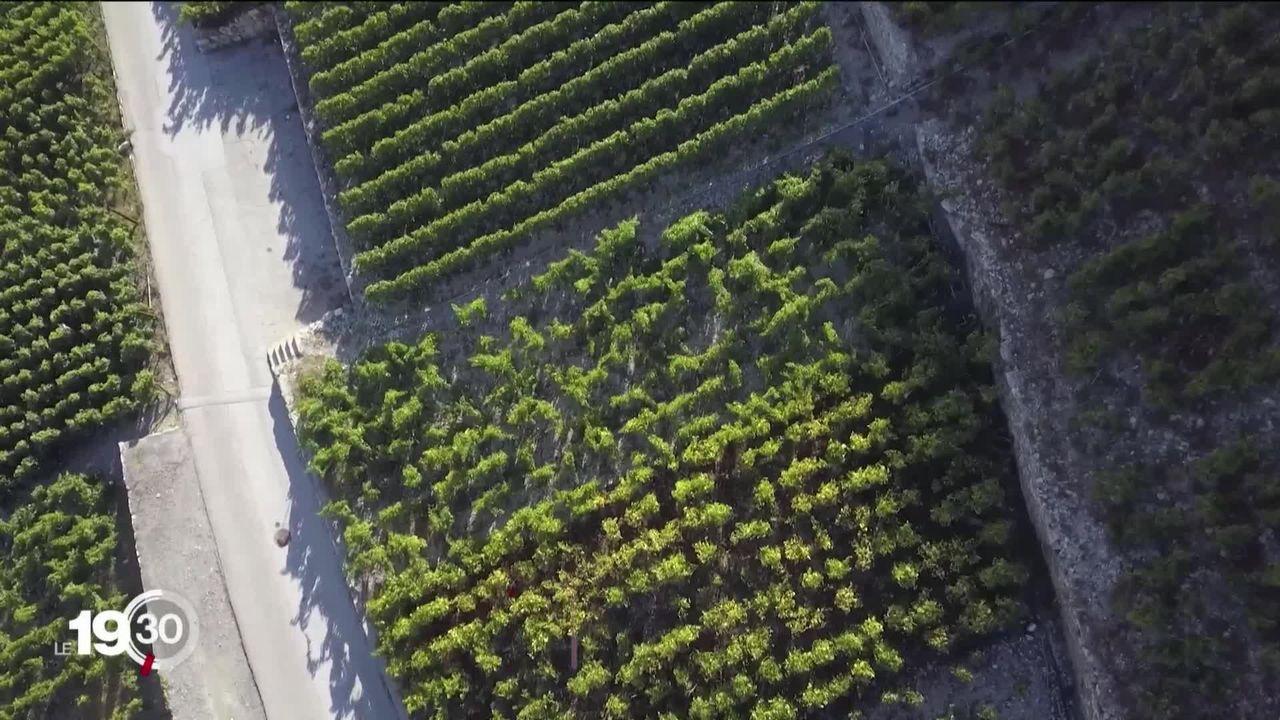 Viticulture en crise, les vignerons sont à bout [RTS]