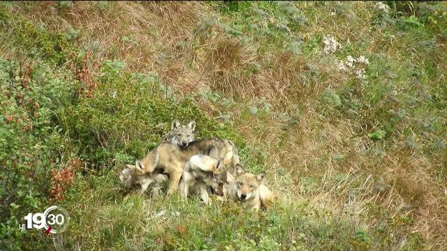 Votation du 27 septembre sur la modification de la loi sur la chasse. Sujet sensible concernant la place du loup [RTS]
