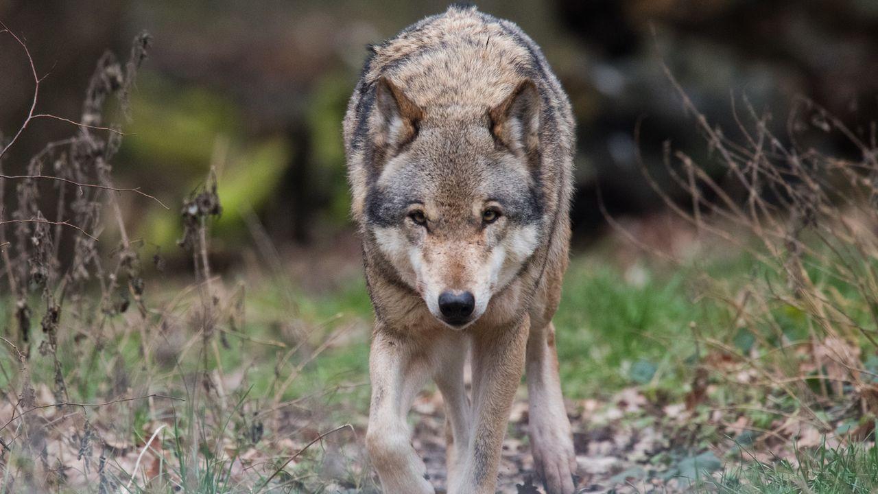 Les loups se multiplient ces dernières années en Suisse. [DPA/Julian Stratenschulte - Keystone]