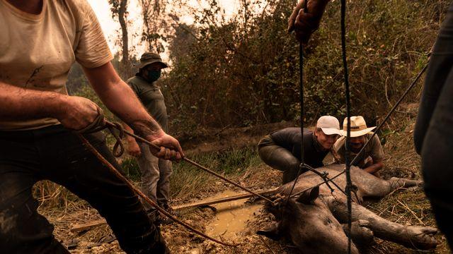 Une équipe de bénévoles, composée de vétérinaires et de biologistes, portent secours à un animal blessé par l'incendie qui dévaste le Pantanal brésilien, le 28 août 2020. [Gustavo Basso - NurPhoto/AFP]