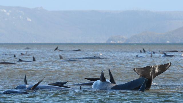 Près de 70 cétacés sont coincés dans la baie de Macquarie Harbour en Tasmanie. [Brodie Weeding - Keystone/EPA]