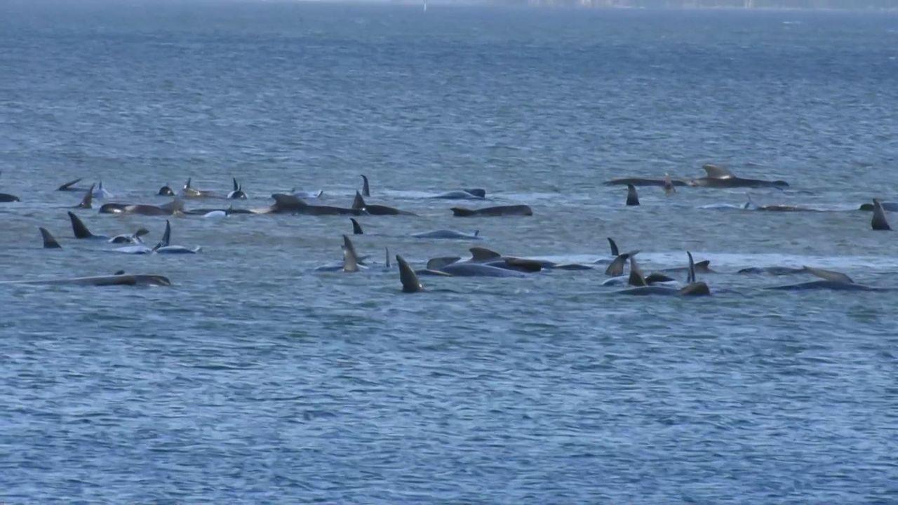 Des centaines de cétacés sont pris au piège dans une baie de Tasmanie [RTS]