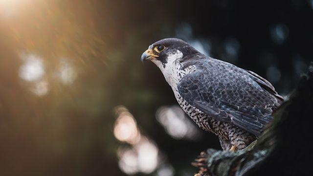 Nos amis sauvages : Le Faucon pèlerin [RTS]