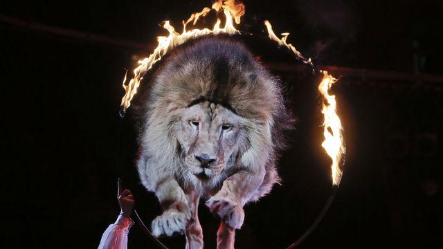 Un lion saute à travers un cerceau en feu dans un cirque à Kiev enUkraine, le 27 juin 2013. (image d'illustration). [Efrem Lukatsky - Keystone]