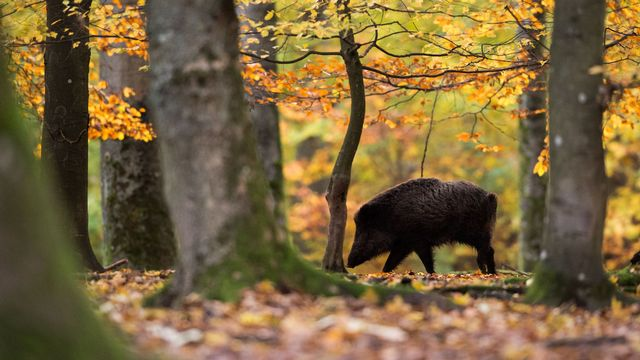Un sanglier en forêt. [Lino Mirgeler - DPA/Keystone]