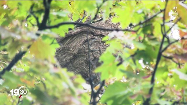 Frelon asiatique: à Genève, la guerre est déclarée. Des puces sont utilisées pour détecter les nids. [RTS]