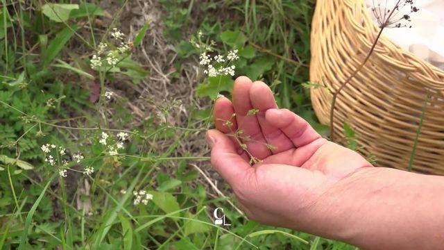 Plus de 80 plantes sont comestibles dans nos Alpes. De quoi se concocter un vrai festin. [RTS]