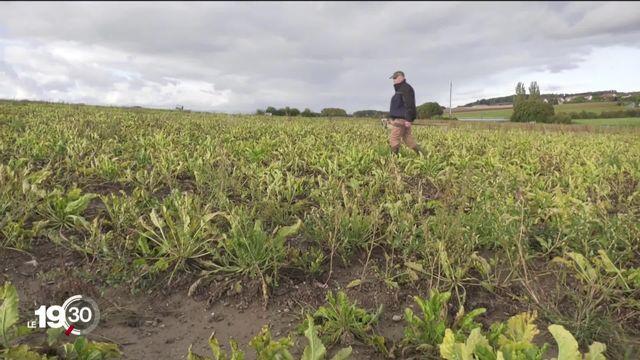 Les cultivateurs suisses de betterave veulent pouvoir utiliser à nouveau l'insecticide Gaucho. [RTS]