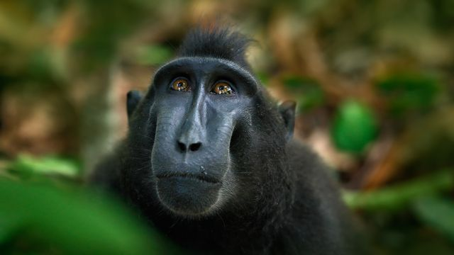 Le Macaque noir se nourrit de plus de 145 espèces de fruits, et a une importance cruciale pour la dispersion des graines de nombreux arbres. Or il est actuellement en danger critique d'extinction. [OndrejProsicky - Depositphotos]