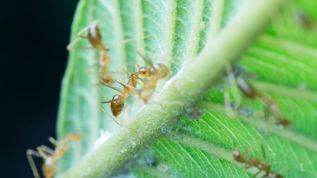 La fourmi folle jaune, une des pires espèces invasives, envahit surtout des zones climatiques ressemblant à son milieu d'origine. sweemingyoung Depositphotos [sweemingyoung - Depositphotos]