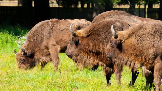 La réintroduction de grands mammifères sauvages comme le bison ou de grands carnivores, cʹest lʹun des principes du rewilding.  [pyty - Depositphotos]