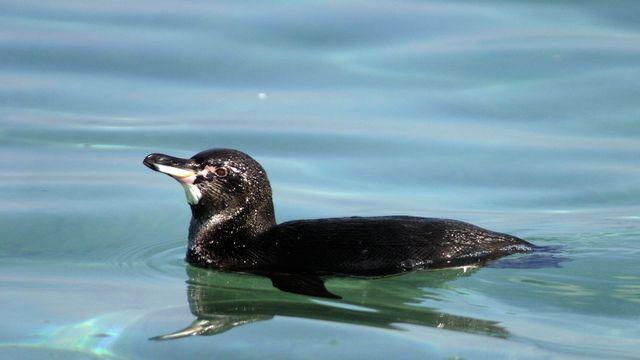 Un pingouin des Galápagos (Spheniscus mendiculus) nageant sur l'île Isabela. [Wikipedia - DR]