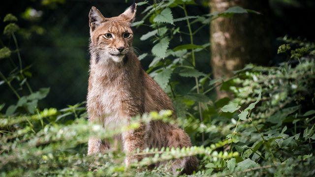 Enquête ouverte après le tir d'un lynx dans les Franches-Montagnes. [Jean-Christophe Bott - Keystone]