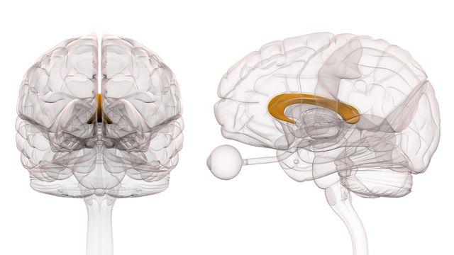Le corps calleux est une structure du cerveau qui relie les deux hémisphères cérébraux, et assure ainsi le transfert d'informations. [decade3d - Depositphotos]