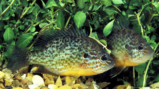Un petit mâle de perche-soleil peut imiter le comportement d'une femelle pour pénétrer dans le territoire d'un mâle dominant. slowmotiongli Depositphotos [slowmotiongli - Depositphotos]