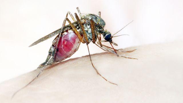 Concernant la malaria, le dernier insecte à piquer une proie est cinq à dix fois plus contaminé que les premiers à s'être nourris.  vladvitek Depositphotos [vladvitek - Depositphotos]