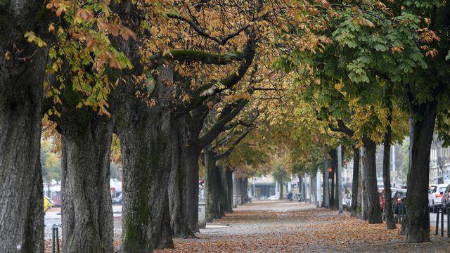 Des marronniers bordant la plaine de Plainpalais à Genève. [Martial Trezzini - Keystone]