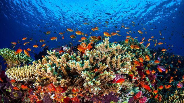 La Grande Barrière de corail, au large de l'Australie, est le plus grand écosystème sur Terre. [Université de James Cook/EPA/Keystone]