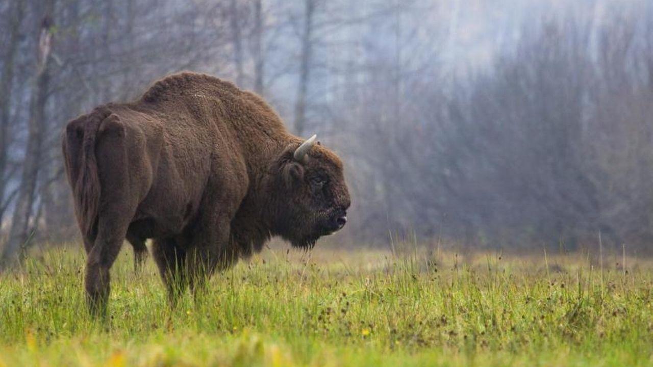 Un bison européen (Bison bonasus). Il y en aurait environ 6300 actuellement en liberté en Europe. [Rafal Kowalczyk - UICN]