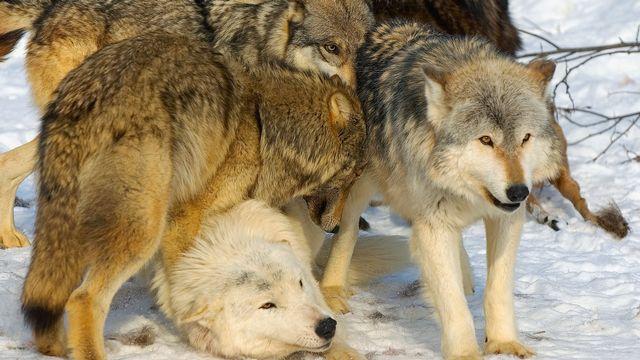 Comprendre la génétique du loup pour mieux comprendre la génétique humaine. DesignPicsInc Depositphotos [DesignPicsInc - Depositphotos]