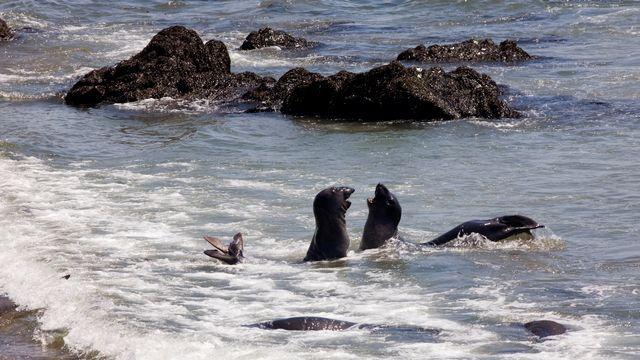 Une colonie d'éléphants de mer de Piedras Blancas en Californie, aux États-Unis. [Renault Philippe / hemis.fr - AFP]
