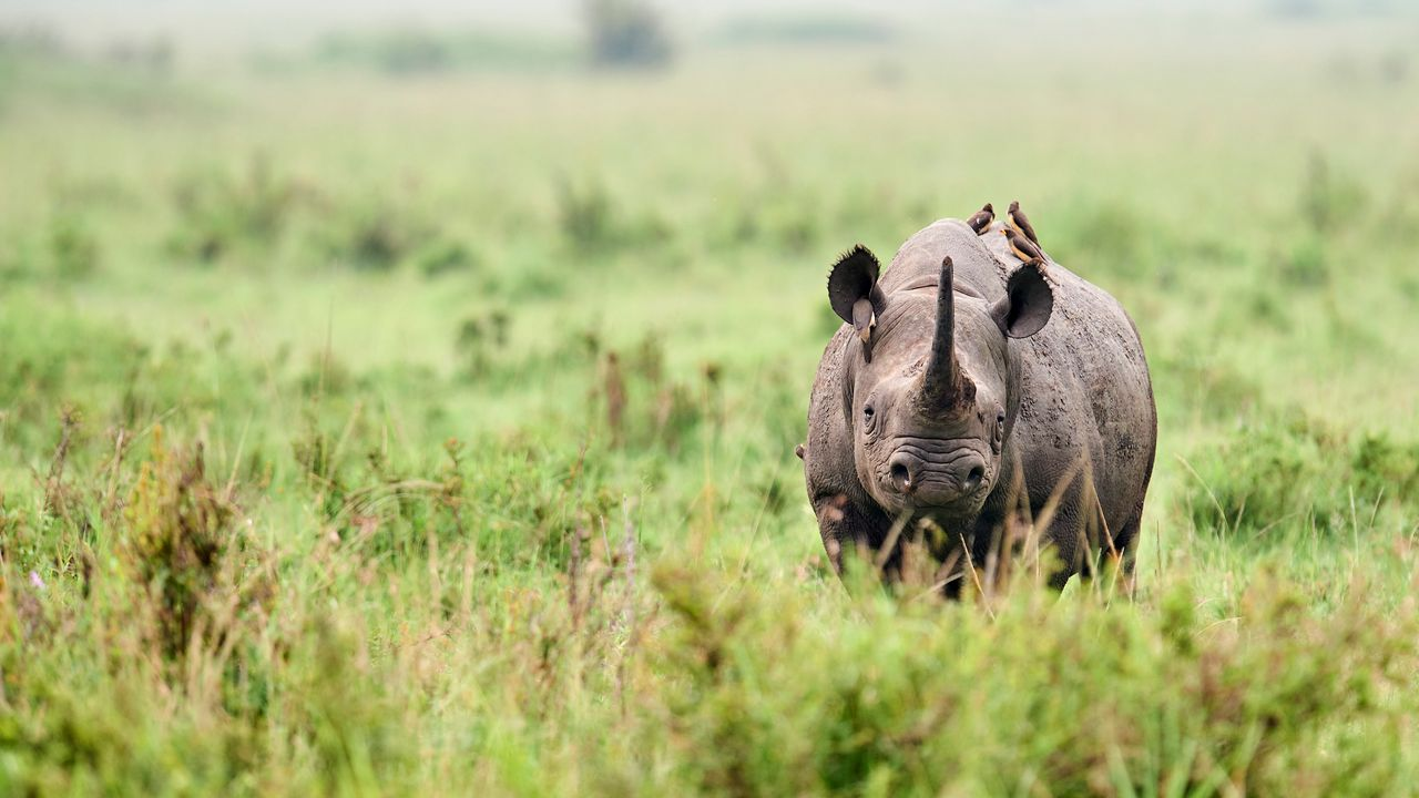 En 1990, les rhinocéros noirs d'Afrique n'étaient plus que 2400. Leur population a plus que doublé aujourd'hui.  [Only France via AFP - AFP]
