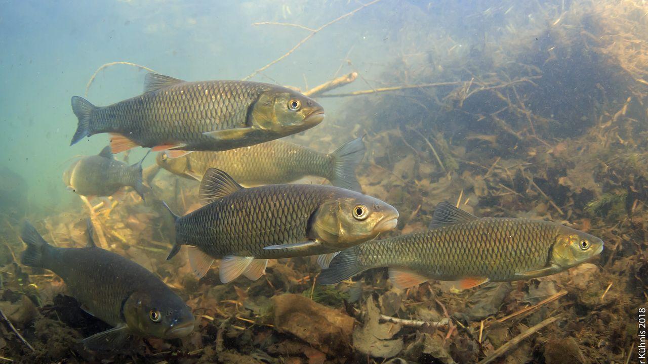 Le chevaine (Squalius cephalus) est très répandu en Suisse et c'est l'un des poissons les plus communs dans les eaux écologiquement dégradées. [Rainer Kühnis - Fédération suisse de pêche (FSP)]
